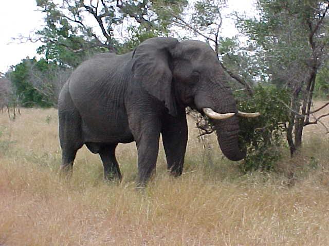 Elephant clip art  Etsy